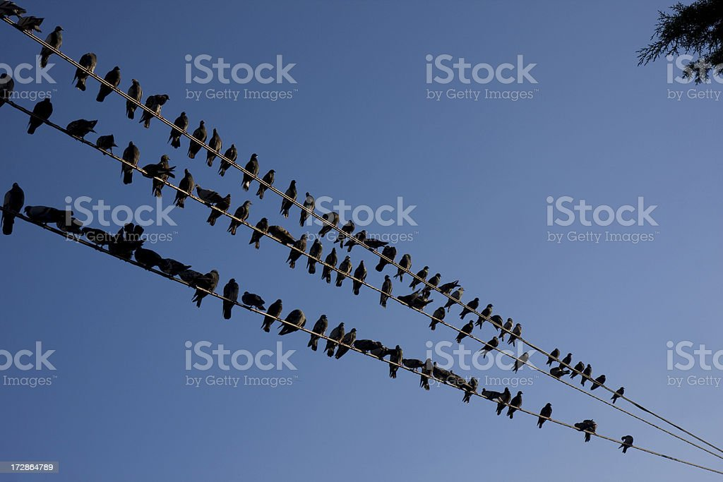 Pigeons on electricity cables stock photo