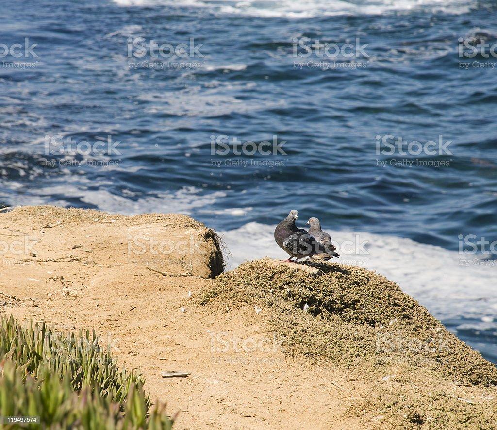 Pigeons on Rocks in La Jolla stock photo