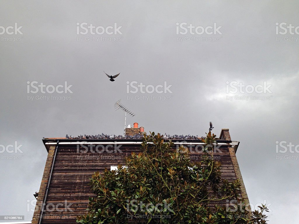 Pigeons on roof stock photo
