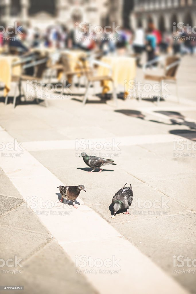 pigeons on st mark's square in venice royalty-free stock photo