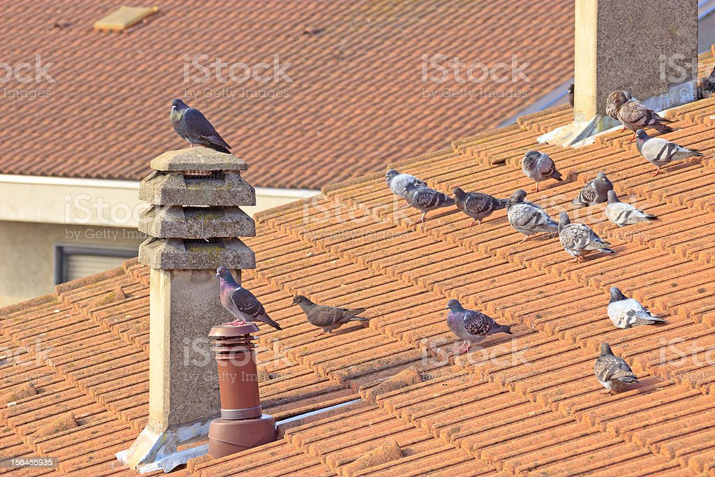 Pigeons on the roof and chimneypot royalty-free stock photo