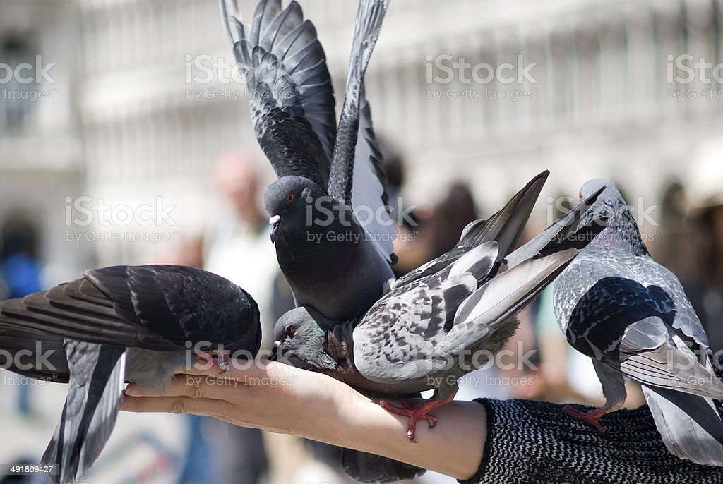 Pigeons royalty-free stock photo