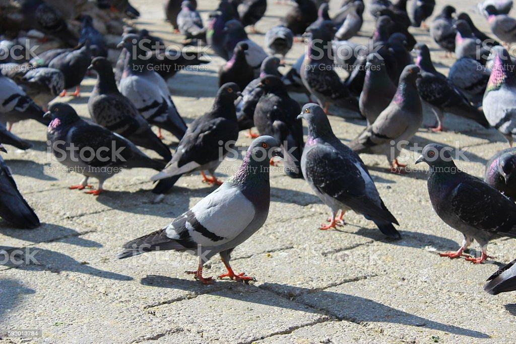 Pigeons Стоковые фото Стоковая фотография