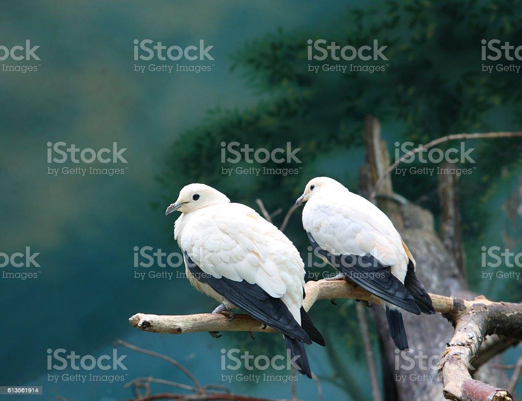 Pigeons royalty-free stock photo