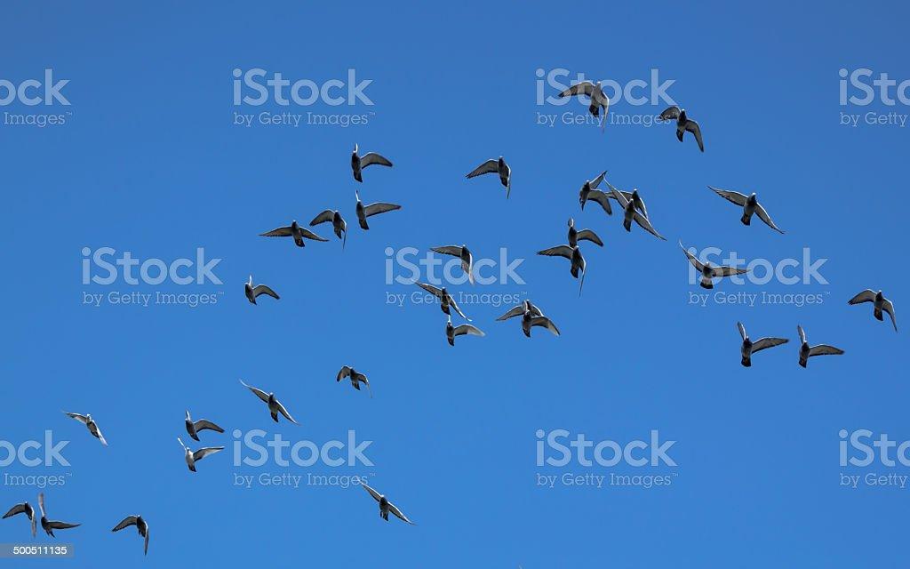 pigeons swarm royalty-free stock photo