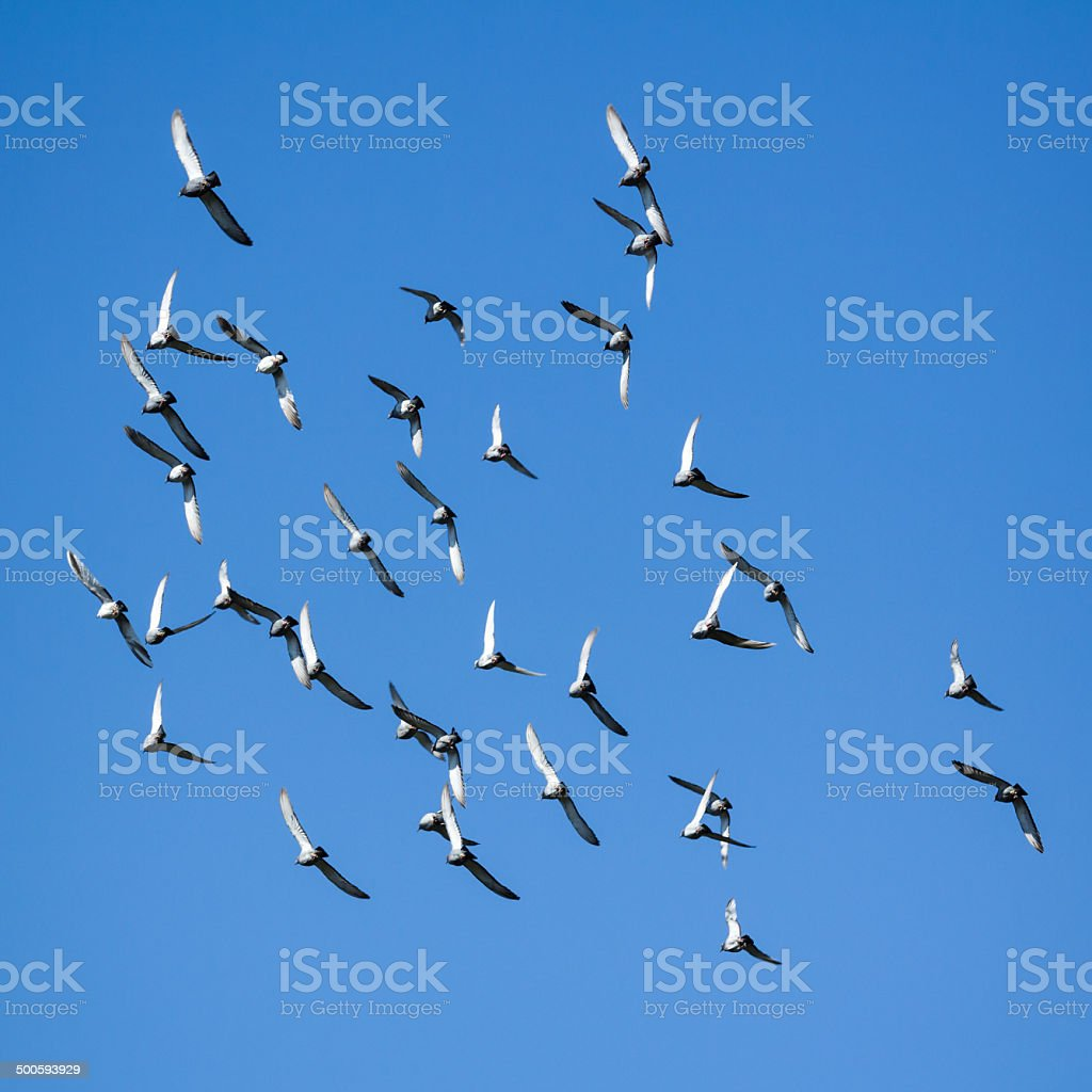 pigeons swarm royalty-free stock photo