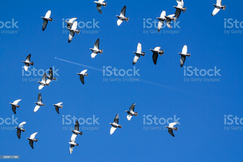 pigeons swarm with stripes of an airplane royalty-free stock photo