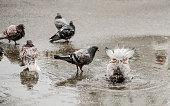 Pigeons swimming in a puddle
