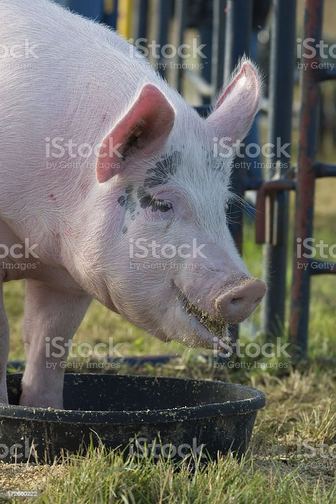 pigging out royalty-free stock photo