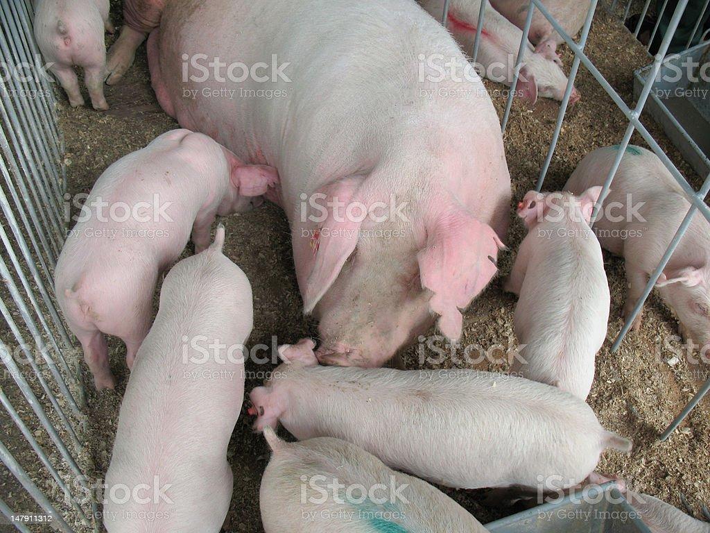 piggy family royalty-free stock photo