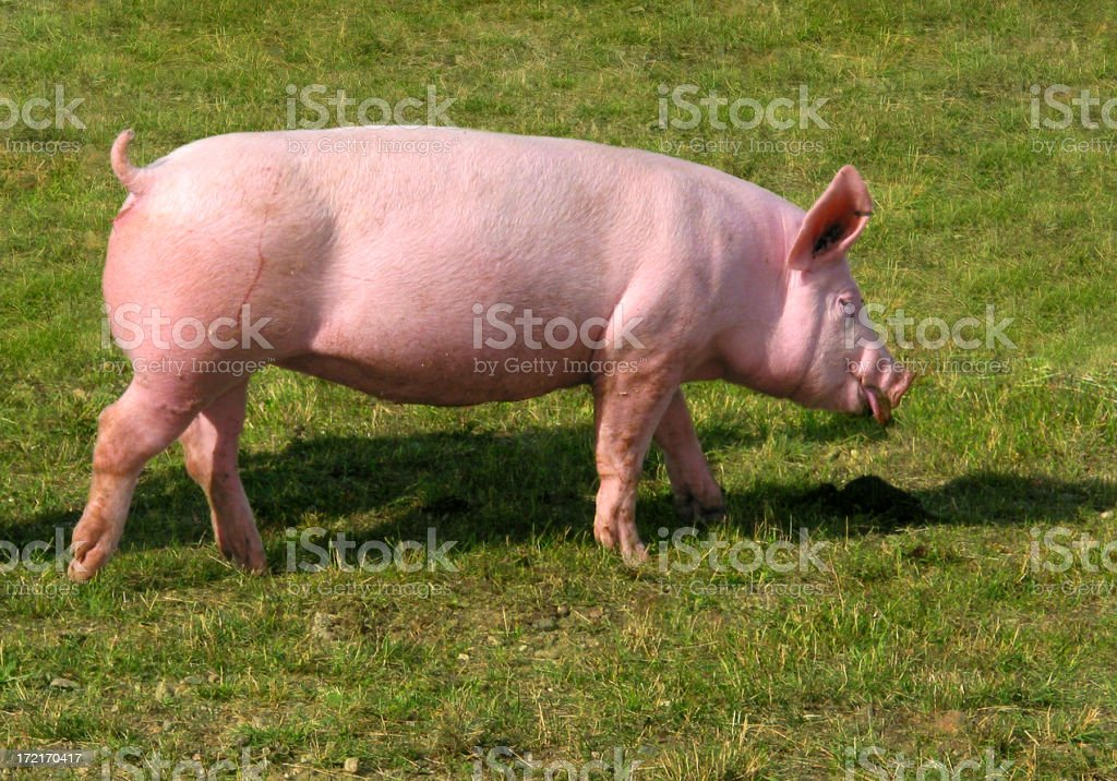 piggy royalty-free stock photo