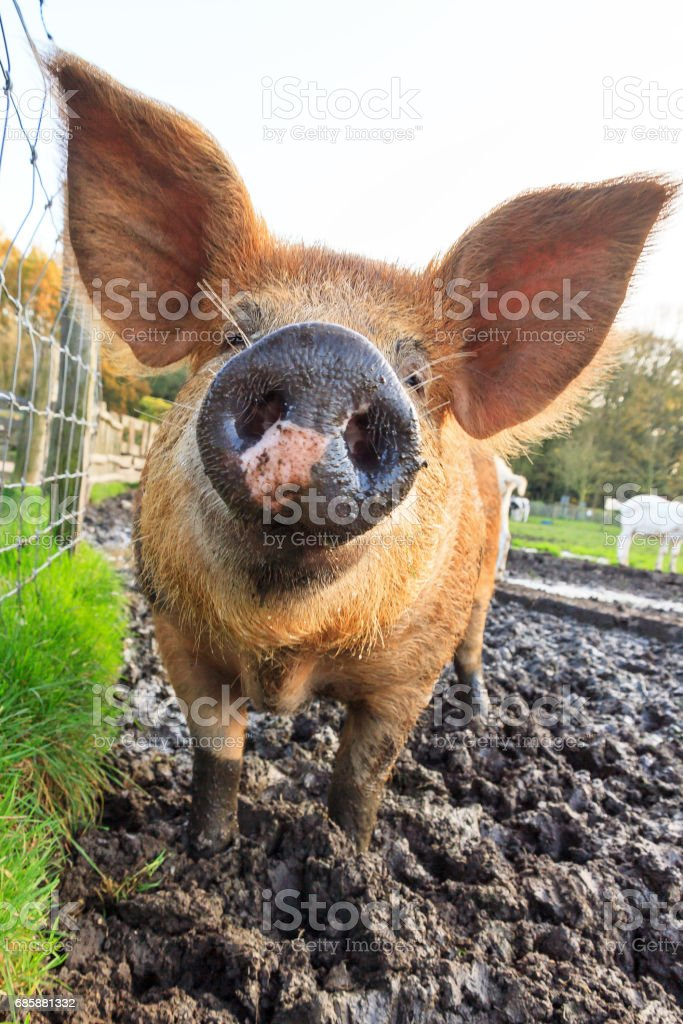 Piggy snout stock photo