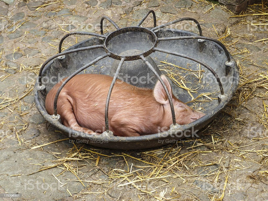 Piglet asleep in feed trough royalty-free stock photo