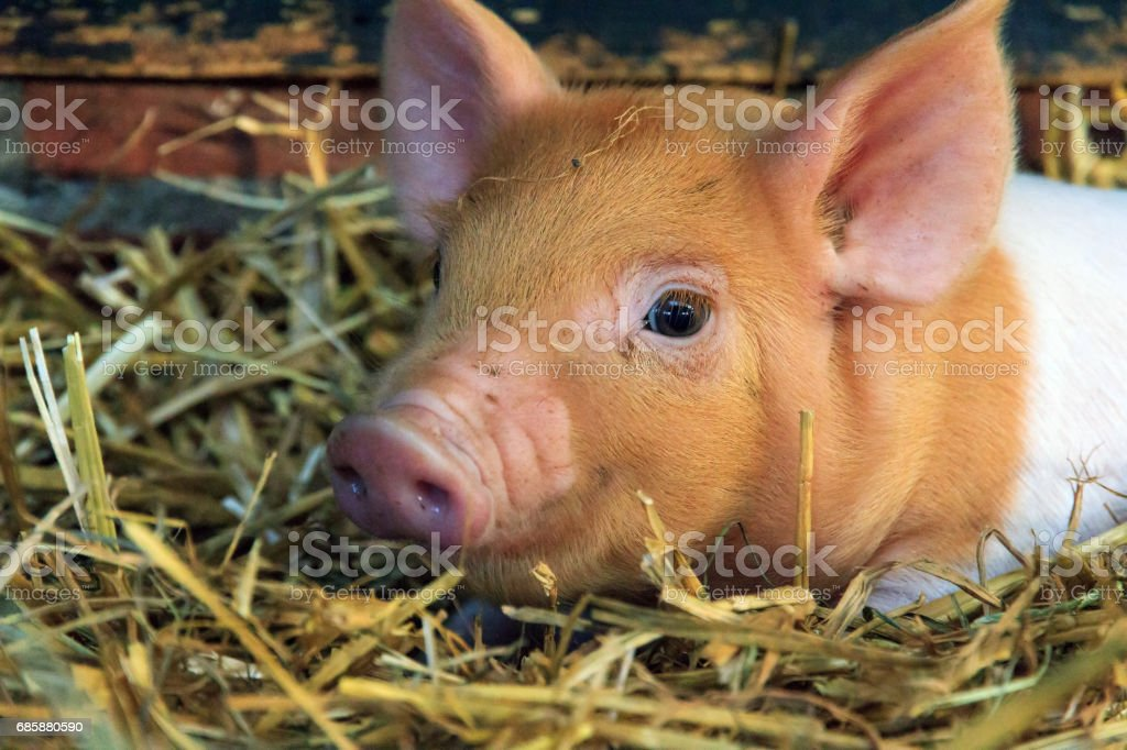 Piglet close up stock photo