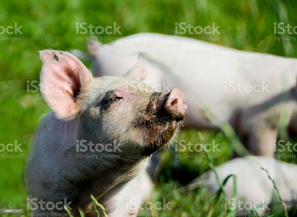 Piglet enjoying the sun stock photo