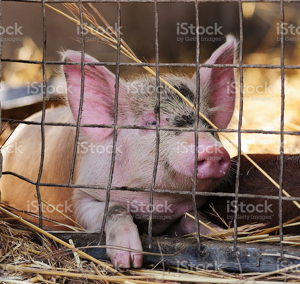 Piglet in a Cage royalty-free stock photo