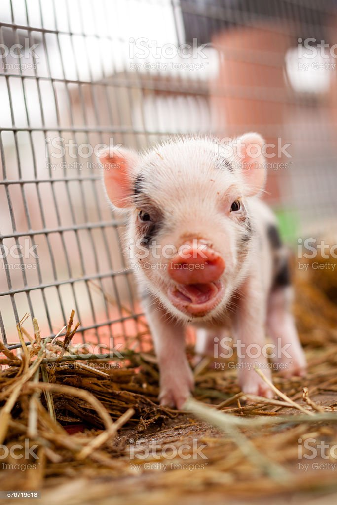 Piglet in cage with open snout stock photo
