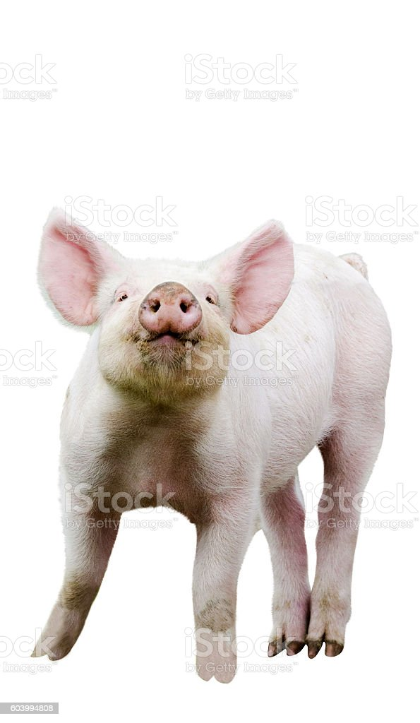 Piglet looking impudently, white background stock photo