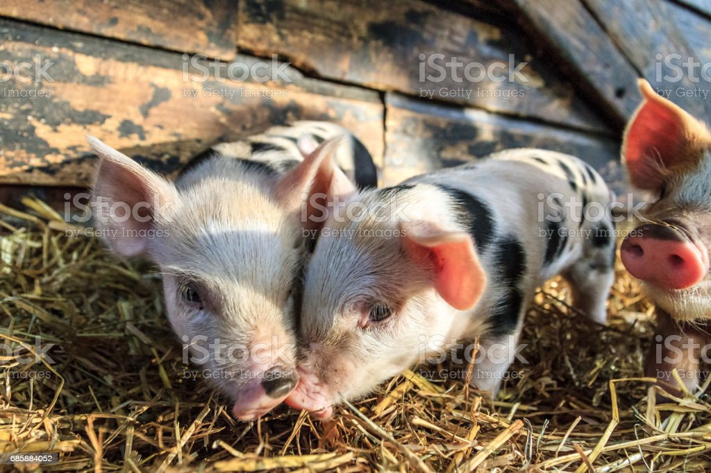 Piglet love stock photo
