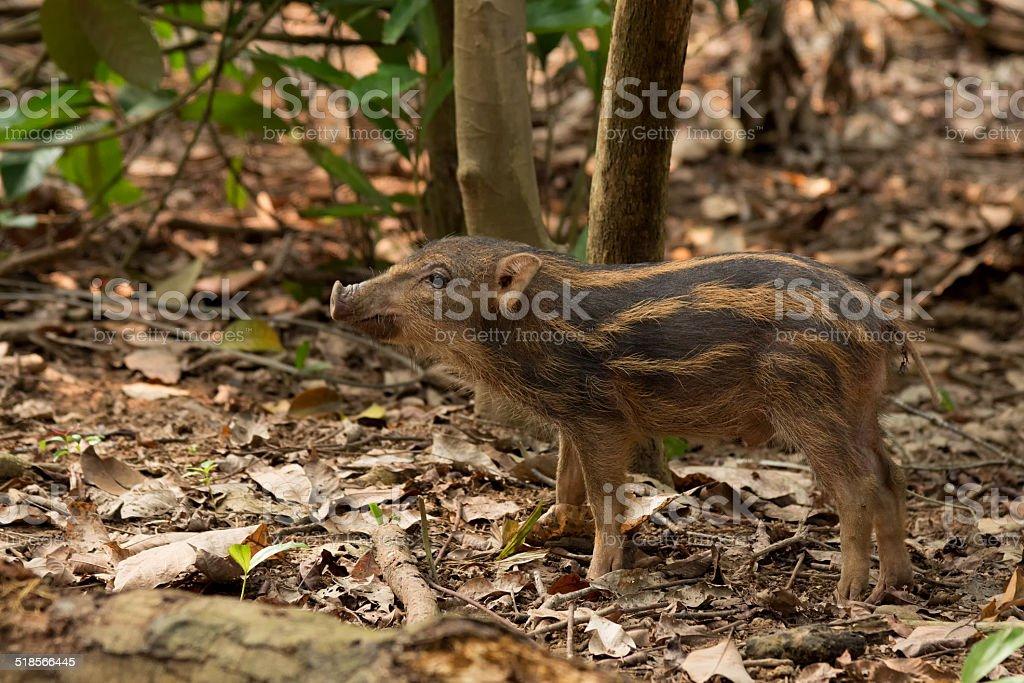 Piglet of wild boar on Pulau Ubin stock photo