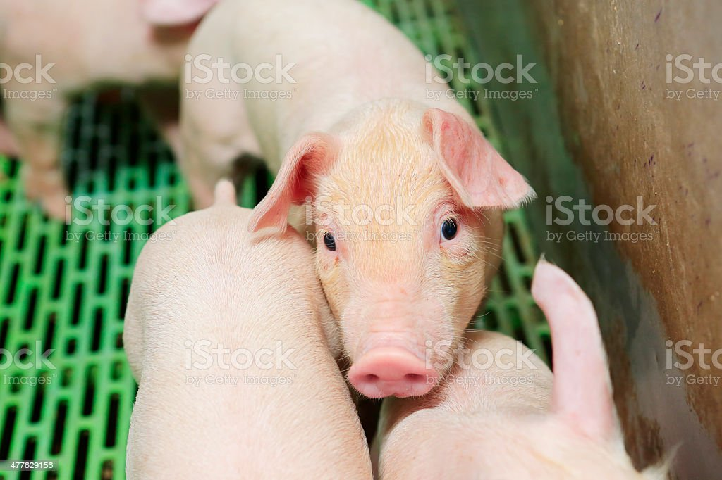 piglet on farrowing stock photo