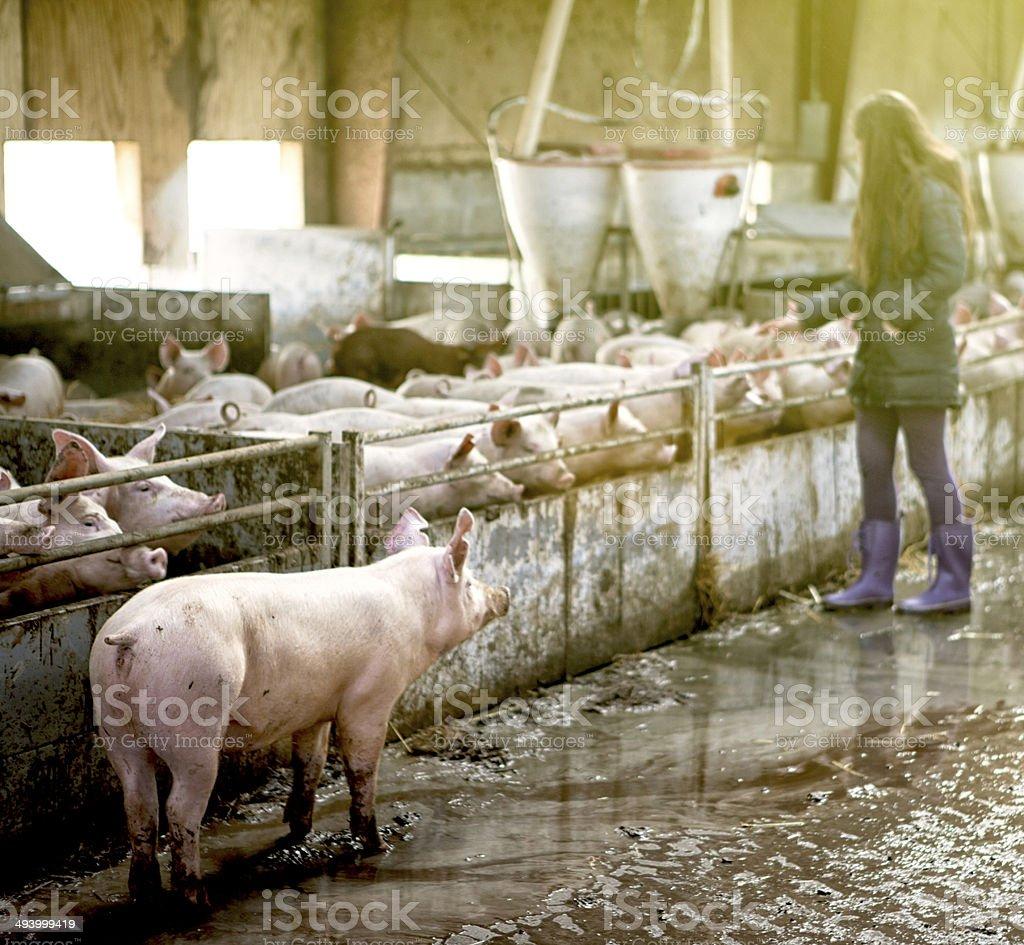 Piglet on the run. stock photo