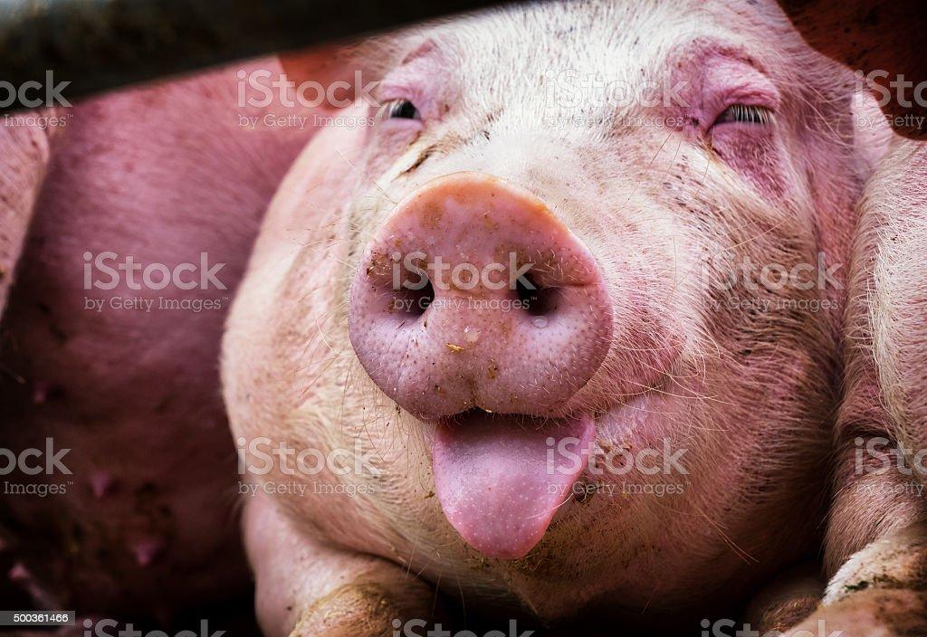 A pig nose