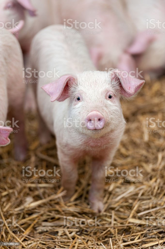 Piglet stock photo
