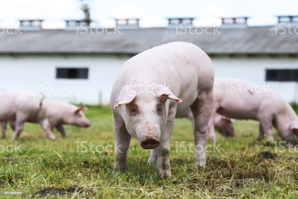 Piglet portrait on pig breeding farm rural scene stock photo
