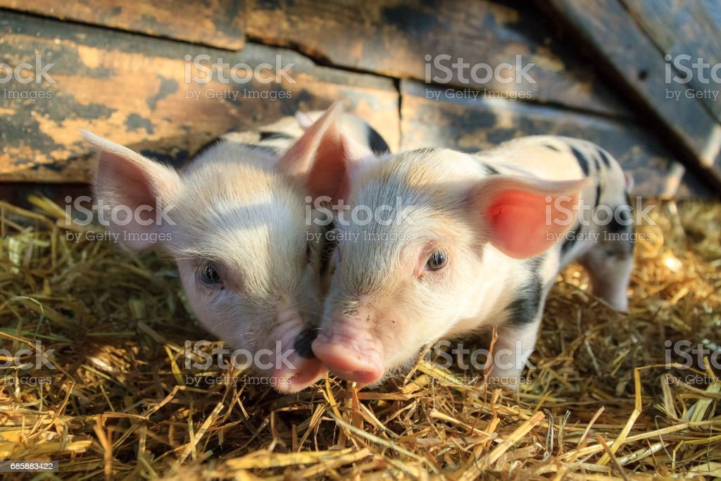 Piglet twins stock photo