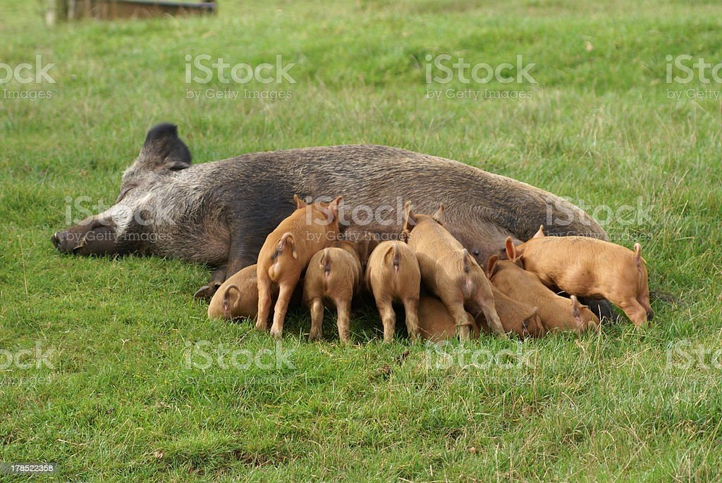 piglets and sow royalty-free stock photo