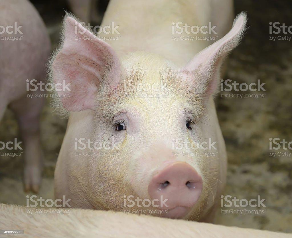 piglets at farm royalty-free stock photo