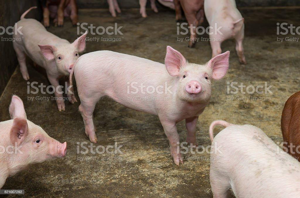 piglets at farm stock photo
