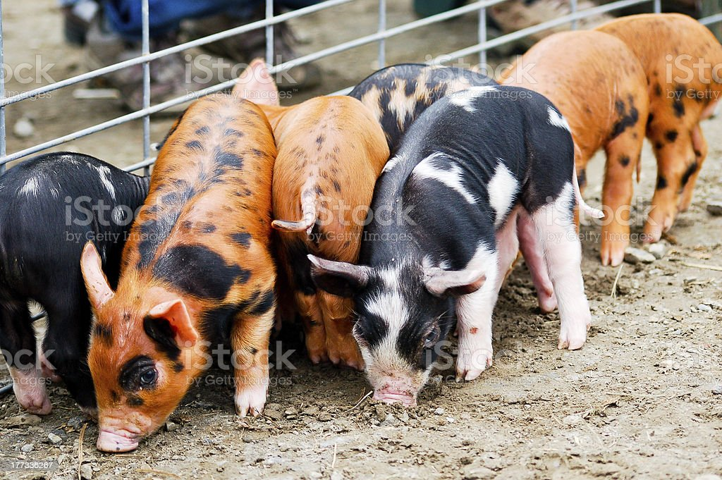 Piglets by the fence stock photo
