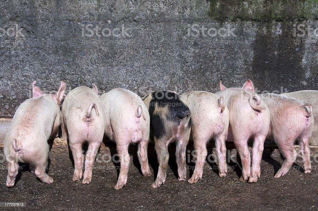 Cochinillos comer en valle foto de stock libre de derechos