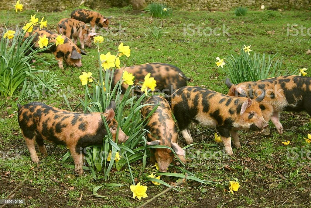 Piglets eating daffodils stock photo