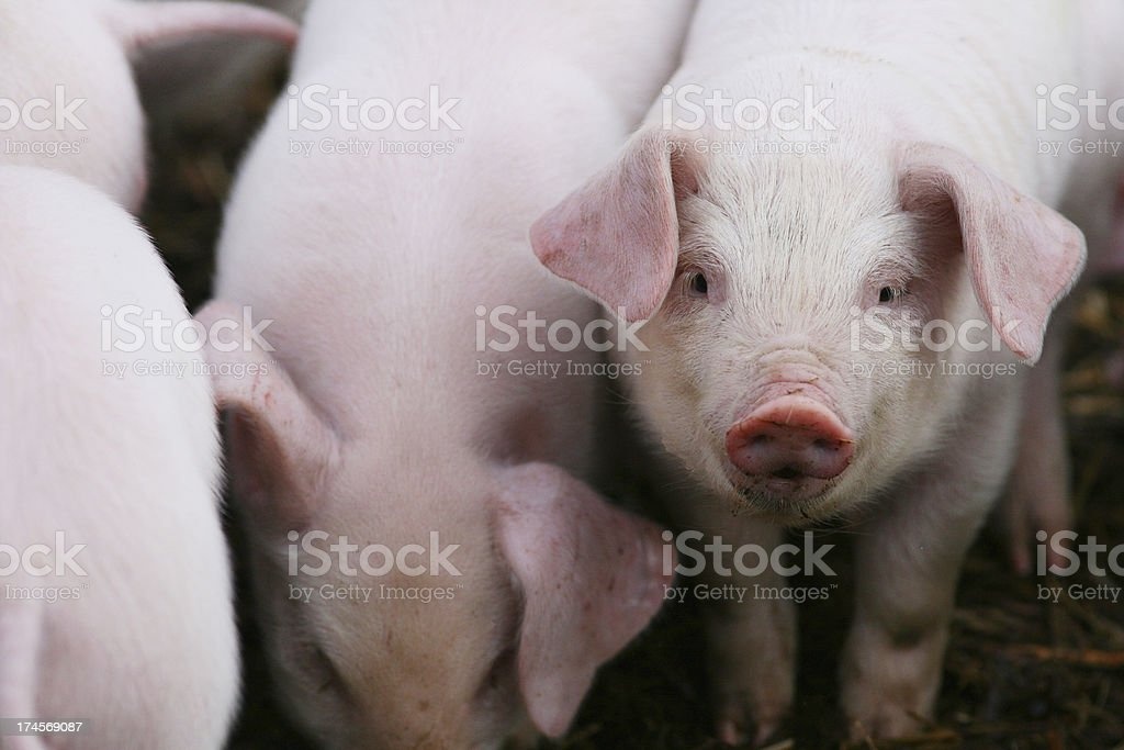 Piglets Feeding stock photo