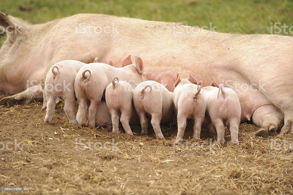 piglets feeding stock photo
