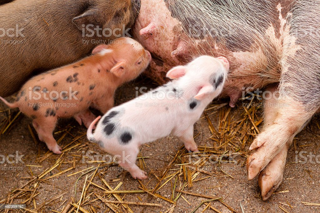 Piglets nursing from Mama pig stock photo
