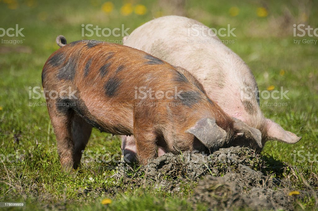 Piglets on grass royalty-free stock photo