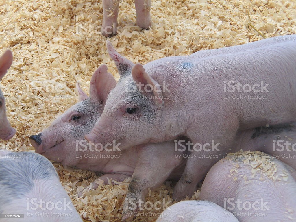 Piglets Playing In Pen royalty-free stock photo