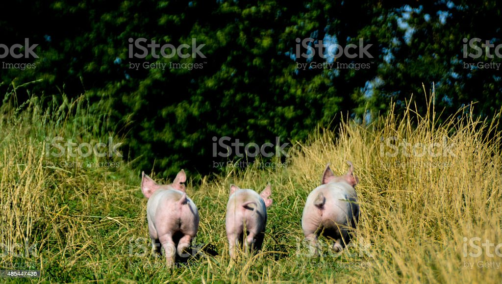 Piglets running stock photo