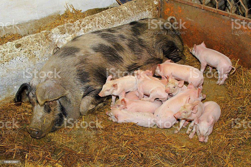 Piglets sucking royalty-free stock photo