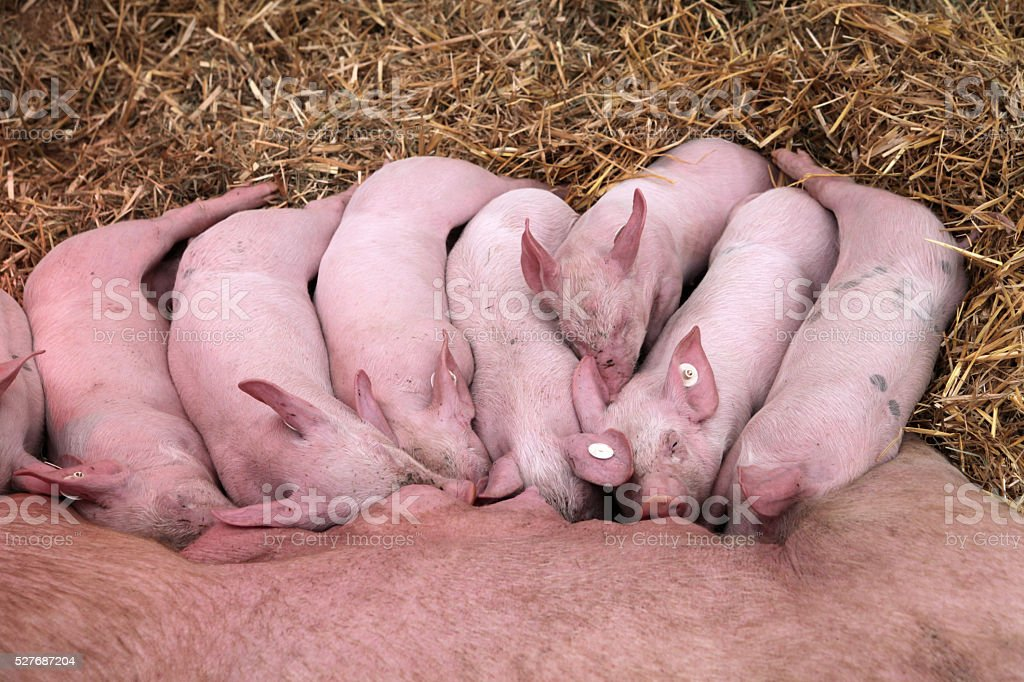 Piglets suckling from mother sow stock photo