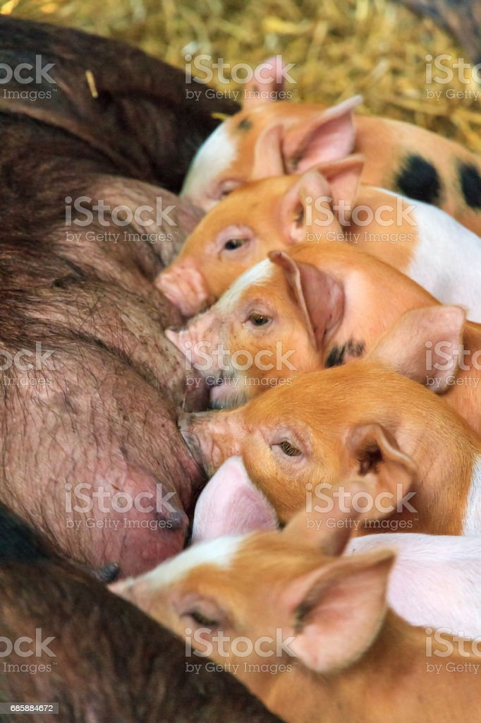 Piglets suckling stock photo