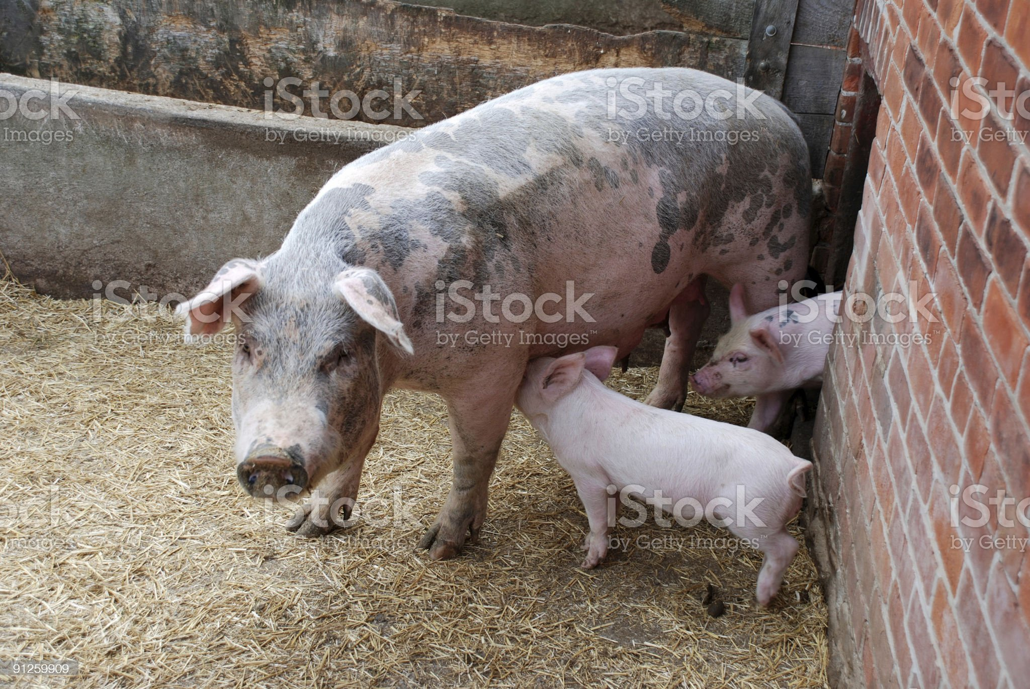 Piglets with mother pig royalty-free stock photo