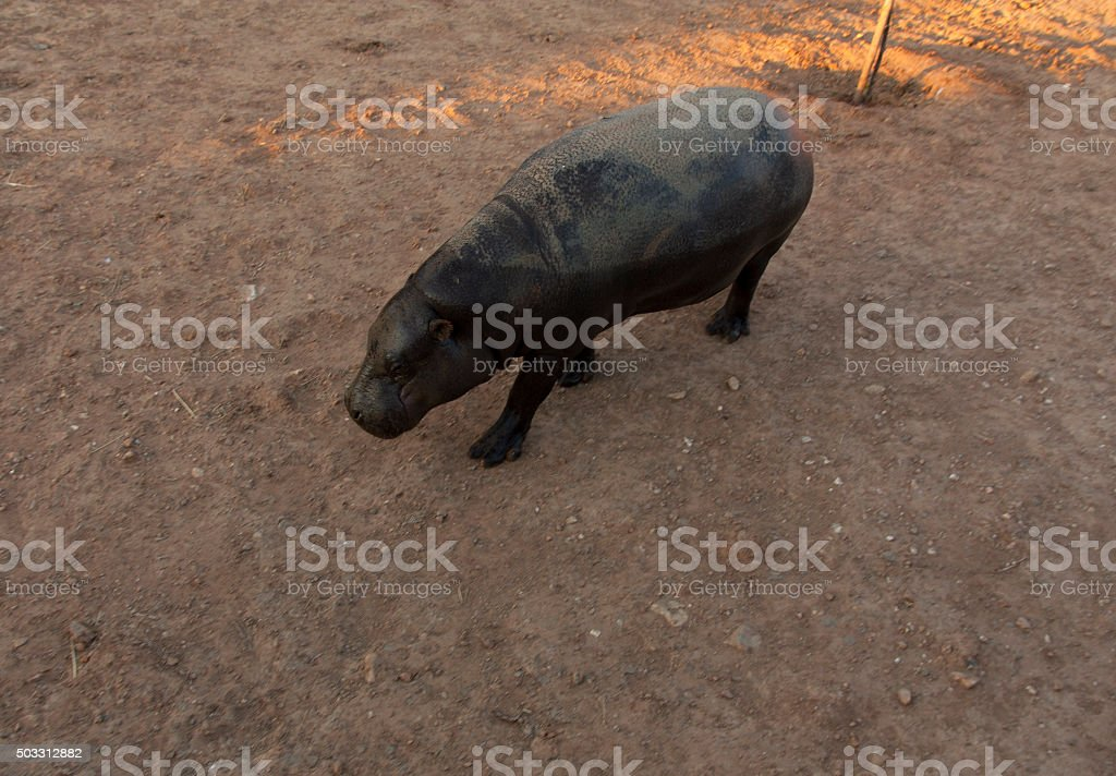 Pigmy hippo photo in natural environment stock photo