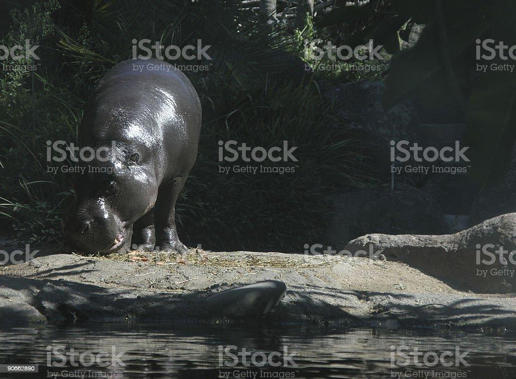 Pigmy Hippo royalty-free stock photo