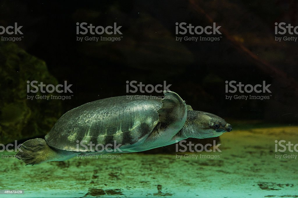 Pig-nosed turtle stock photo