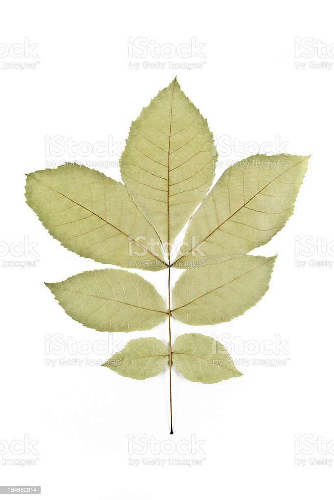 Pignut Hickory - Carya glabra stock photo
